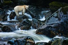 The Ghost of the Great Bear Rainforest