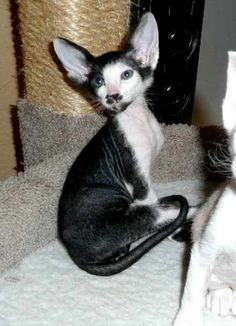peterbald Cats | ... Short Hair, Siamese, and Peterbald Retired Cats and Available Kittens