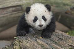 Su Lin, born on August 2, 2005, was a mischievous cub. Fun fact: Almost all pandas, including those living at the San Diego Zoo, belong to China.