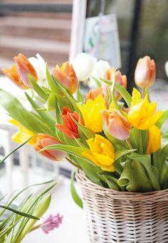 Tulipanes  Es el bulbo más tardío porque, al ser más pequeño, tarda en florecer.