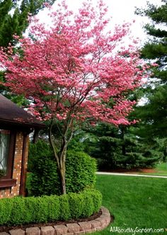 Lovely Pink flowering dogwood