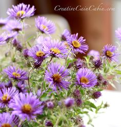 Purple Asters/ATTRACTS: Monarch Butterflies. Important during migration.