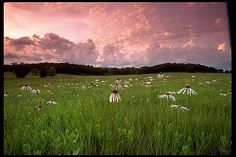 Tallgrass Prairie Preserve; northern Oklahoma.  Rosy-purple sky, clouds, distant hills, green grass, flowers.