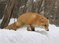 Red Fox by Maud Leclercq on 500px