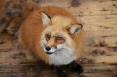 Red Fox by Bamshad Nazarian on 500px