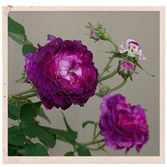 Gallica Rose: Rosa 'Belle de Crécy' (France, before 1836)