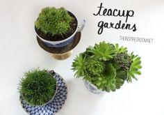 teacup gardens succulents