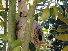 Growing Birdhouse Gourds to Create Bird Habitat - Garden Mentors