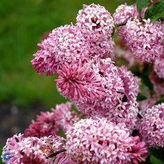 KANADISK SYREN ('MISS CANADA') opstammet 100 cm - blomstrer i juni-juli