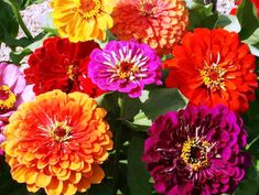 Growing Zinnia Flowers: Easy Plants for Your Landscape and Containers