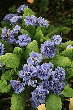 Primula vulgaris 'Blue saphire'