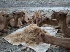 Feeding time: Miners who have relied on camels to make the long journey to the salt desert for centuries fear a planned road making the region more accessible could threaten their ancient trade Salt Mining, The Longest Journey, Camels, South America, Trail, Deserts, Wildlife, Africa, The Incredibles
