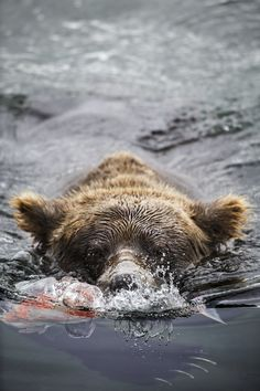 "smithsonianmag: "" Photo of the Day: Brown Bear With a Fish Photographer caption: While on a recent trip to Katmai National Park in Alaska, I had the pleasure of watching brown bears feasting on salmon that were moving up river to spawn. The bears all..."