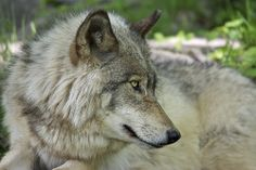 Canadian Timber Wolf - Parc Omega Nature Preserve, Montebello, Quebec