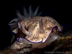 Nudibranch - Hypselodoris tryoni, Ang Thong, Gulf of Thailand ... Koh Pha Ngan Photographic