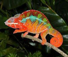 macro fotos de camaleones en colores - Buscar con Google