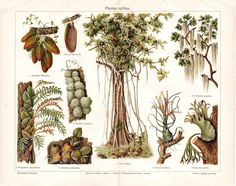 Epiphyte Plants Antique Chromolithograph 1923 by carambas on Etsy, $16.00