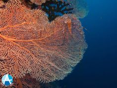 Some pictures of ours DiveSpots Beautiful Gorgonia! Cebu, Some Pictures, Diving, Philippines, Asia, Gallery, Image, Beautiful, Scuba Diving