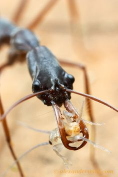 Odontomachus coquereli using its trap-jaw to catch a cricket.