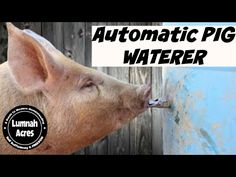 Automatic Pig waterer - YouTube