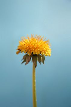 """""""When you look at a field full of dandelions you can either see hundreds of weeds....or hundreds of wishes..."""" <3 <3 <3"""