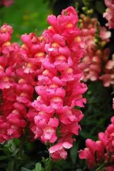 Snapdragons - plant these in the front  ONCE I GET THE FRONT CLIPPED ID LIKE TOO THEY ARE PRETTY!