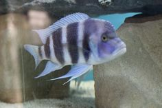 Dedicated thread for all your african cichlid pics - Page 2