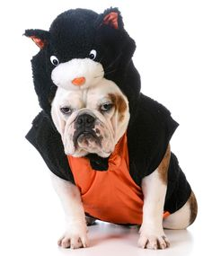 Bulldog dressed as a black cat by Shutterstock.