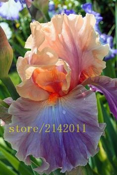 50pcs/bag pink iris seeds, bearded iris seeds, rare bonsai iris Phalaenopsis Orchid flower seeds, Nature plants for home garden
