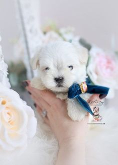 Maltese Puppy For Sale Teacup Puppies 353 Maltese Maltese Puppy