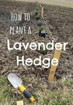 >> Have a look at How To And Why You Want To Plant A Lavender Hedge...