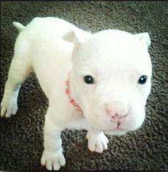 White Pit Bull.