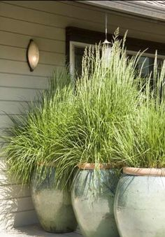Lemongrass, great for privacy and mosquito repellant.