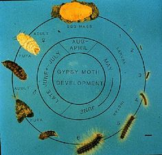 Adult gypsy moth food