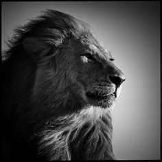 Photo Lion in compliance - Laurent Baheux - YellowKorner