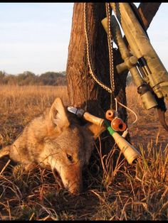 Coyote hunting .... SO ARE YOU GOING TO EAT THAT COYOTE?? YOU POS!!