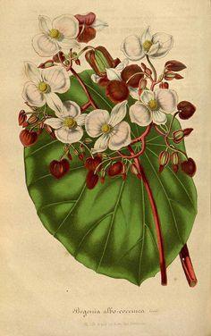 51448 Begonia albococcinea Hook. / Houtte, L. van, Flore des serres et des jardin de l'Europe, vol. 3: fasicle 5, p. 225, t. 3 (1847) [n.a.]