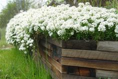 white candytuft overflowing wooden retaining wall