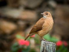 Foto joão-de-barro (Furnarius rufus) por Eden Fontes | Wiki Aves - A Enciclopédia das Aves do Brasil
