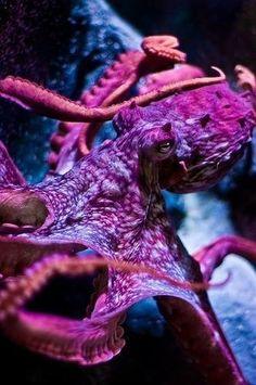 Devilish Octo