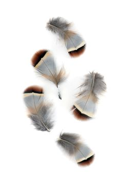 red partridge feathers | STILL (mary jo hoffman)