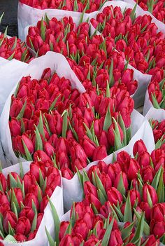 sea of tulips - Celebrating - Love - Red - Valentines