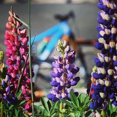 July fever at the base area! #bikes and #flowers. #cbcolors #summer #summerinthemountains  @wildflowerfest   Photo: skylar kraatz