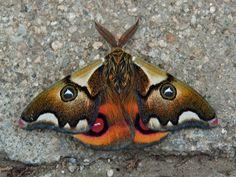 Saturniid moth (Polythysana cinerascens) Valparaiso cemetery
