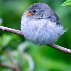Oh my gosh this little bird looks like a fuzzy cotton ball! :)