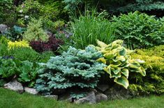 A closer look at that mix of perennials and shrubs including hosta, blue and golden colored evergreens, a maroon colored Barberry bush, a golden colored Heuchera (to the left of the Barberry) and Zebra grass (middle foreground).