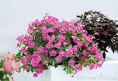 Petunia Pot Ornamental Plant - Download From Over 54 Million High Quality Stock Photos, Images, Vectors. Sign up for FREE today. Image: 23872804