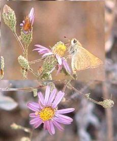Corethrogyne filaginifolia,  California Corethrogyne with skipper - grid24_6