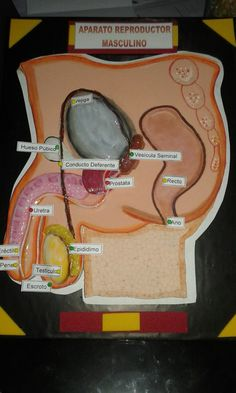 Aparato reproductor masculino Ap Biology, Teaching Biology, Teaching Activities, Science Projects, School Projects, Female Reproductive System Anatomy, Project Based Learning, Human Body