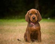 Puppy Redbone Coonhounds---favorite